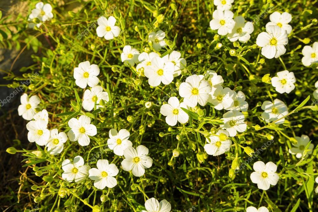 Arbusto de la Jara en primavera — Foto de stock © OlafSpeier #69974905