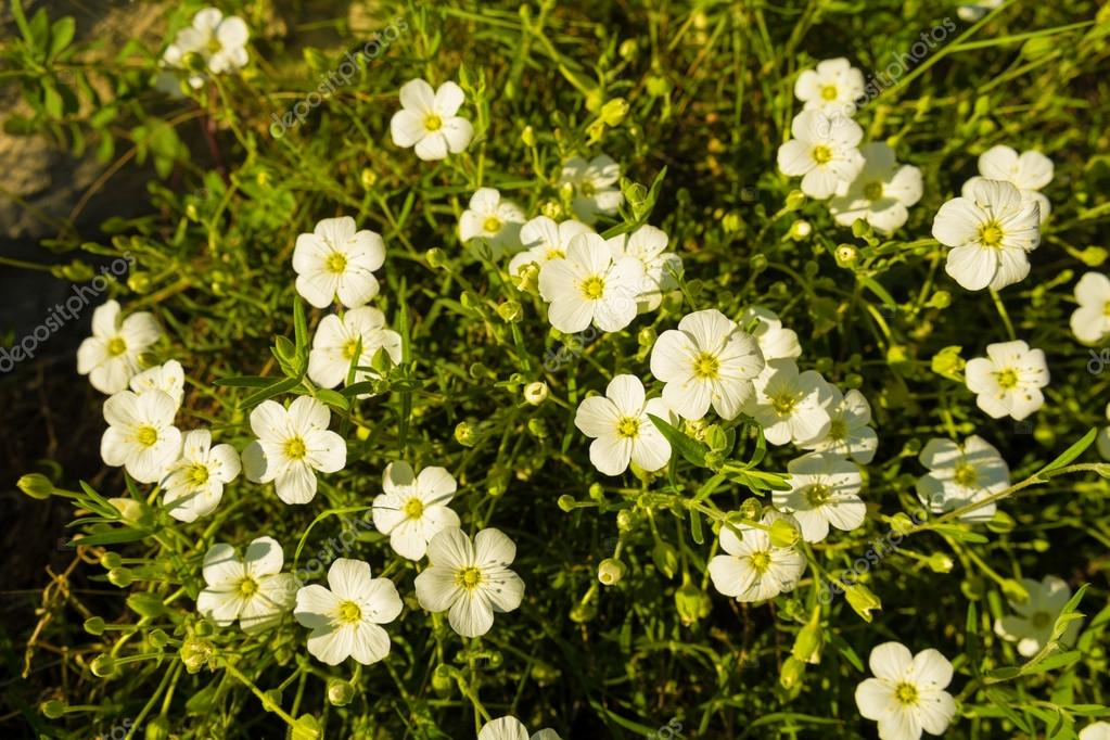 Arbusto con flores blancas de Jara — Foto de stock © OlafSpeier ...