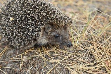Forest resident hedgehog.
