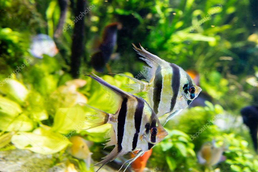 Angelfish Pterophyllum scalar