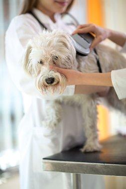 Checking microchip implant on Maltese dog