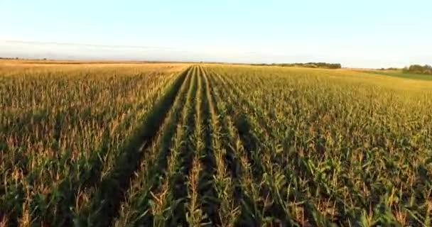 Légi járat felett arany kukorica növény mező naplementekor