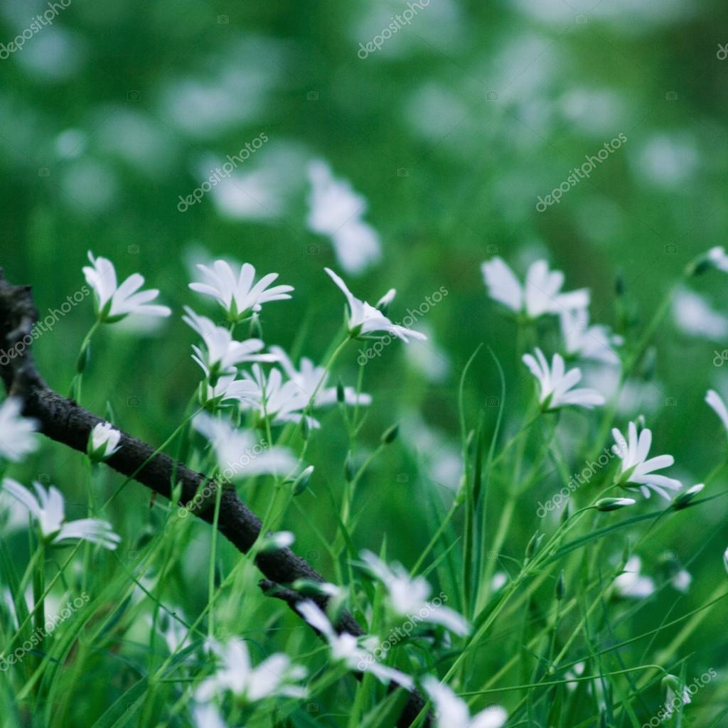 White mountain flowers stock photo oriontrail 68253609 white mountain flowers stock photo mightylinksfo