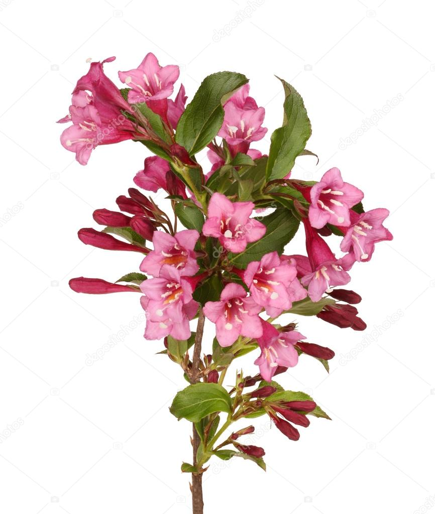 A Branch Of Flowering Crabapple Stock Photo Sgoodwin4813 110513616