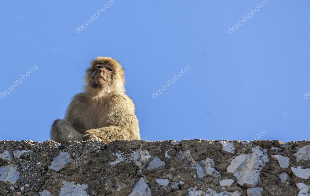 Barbary Macaque of Gibraltar