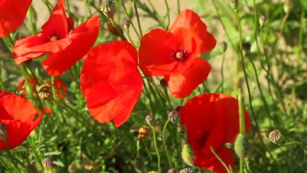 Poppies Moving in a Light Breeze