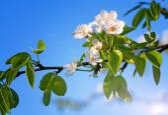Fotografie Apple blossoms against a blue sky