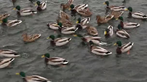 a vízben úszó kacsák