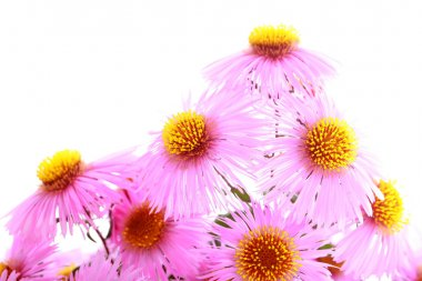 Bouquet of pink garden autumn flowers