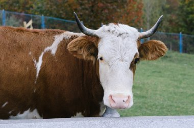 Cow with a bell