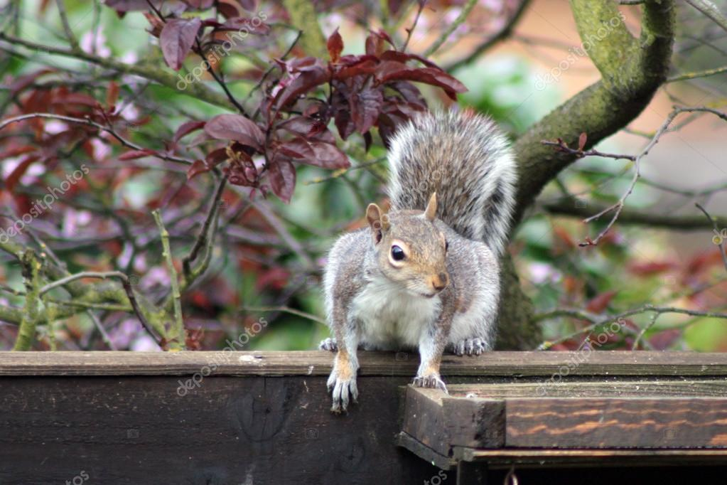 Grey squirrel sitting on a fence