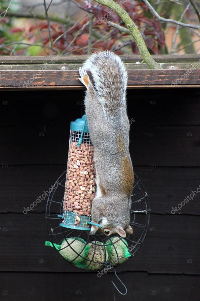 Grey squirrel hanging upside down eating nuts from on a nut bag.