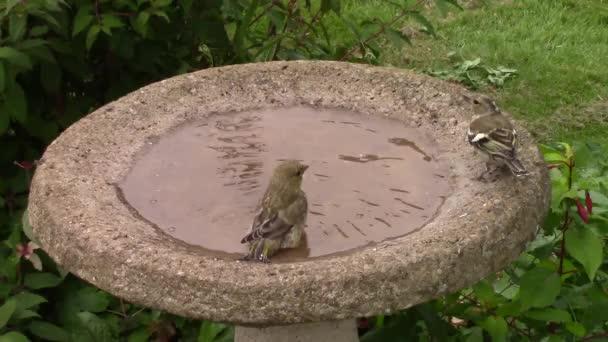 Zöld finch, fröccsen egy madár fürdő.