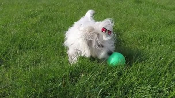 Maltese dog playing