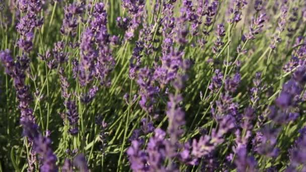 lavender bunch in wind