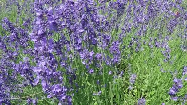 lavender and bee in slow motion