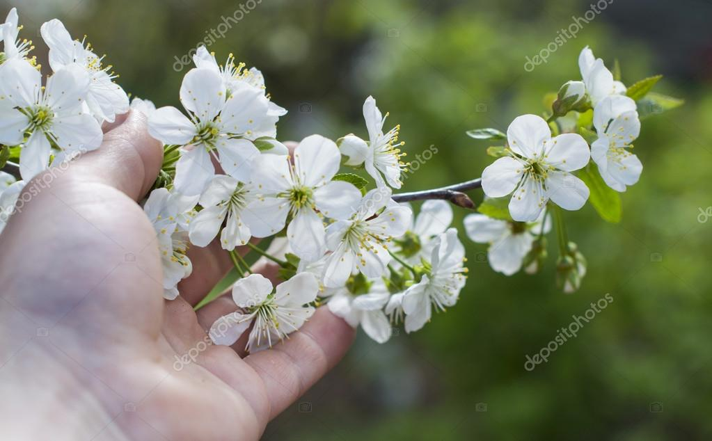 Touching his hand to the white apple blossom