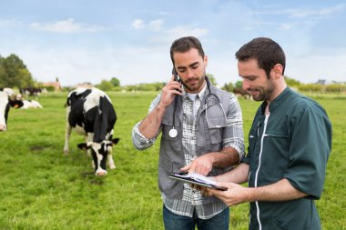 Farmer and veterinary working together in a masture with cows