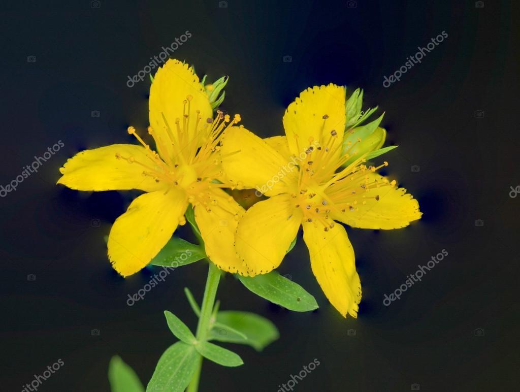 St. Johnswort Wild Flower