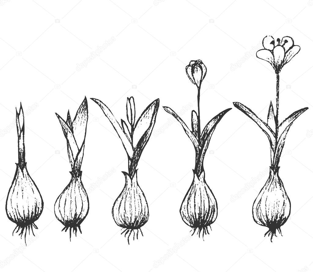 germinaci u00f3n de la semilla aislada en blanco  u2014 vector de stock  u00a9 jelen80  104718082