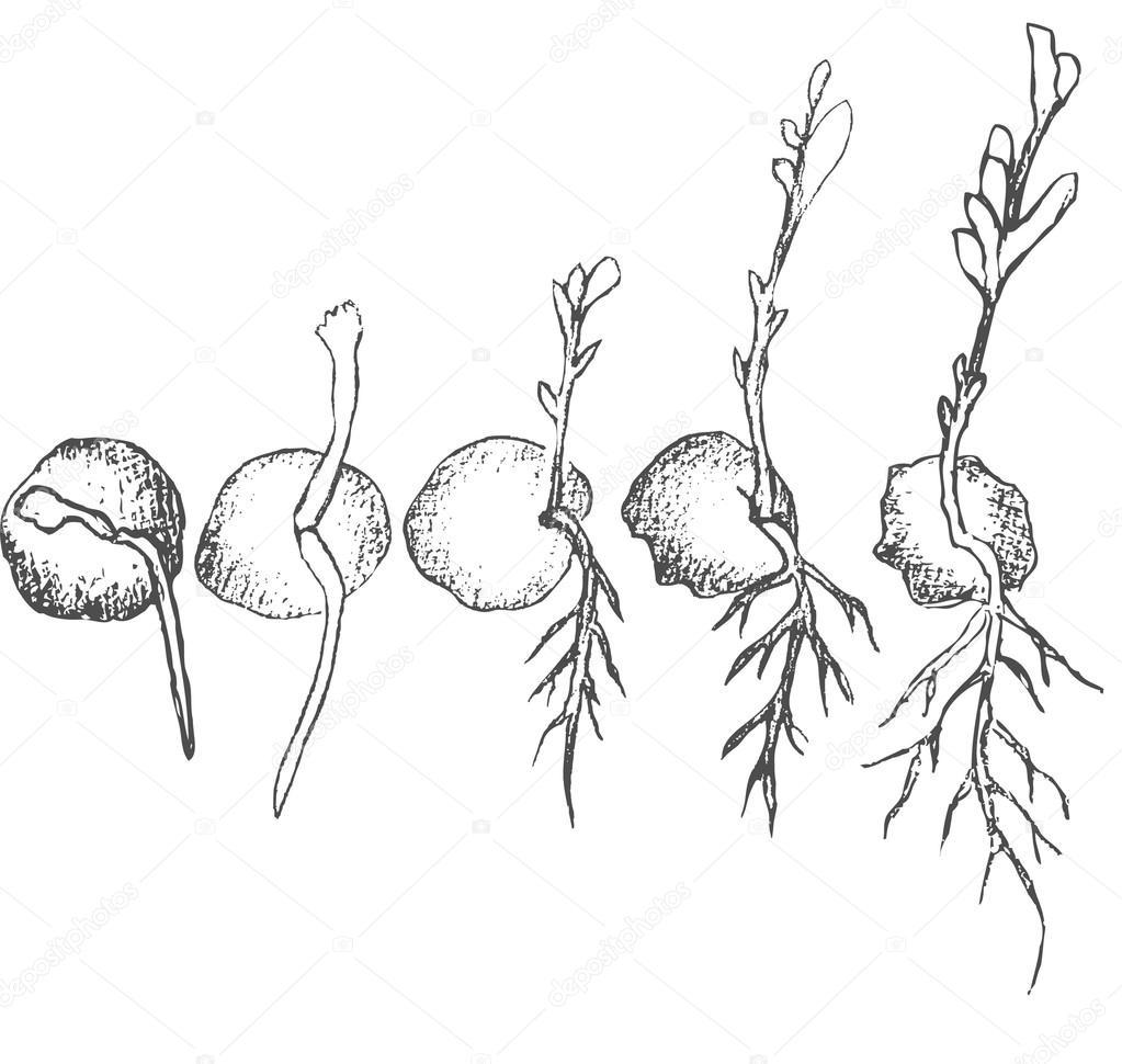 kie u0142kowania nasion na bia u0142ym tle  u2014 grafika wektorowa  u00a9 jelen80  104718086