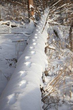 animal footprints on a fallen tree, in snow, Russia, near Moscow