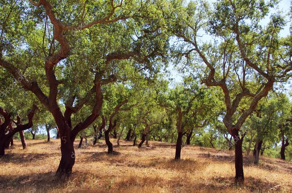 cork oak trees in south of Portugal