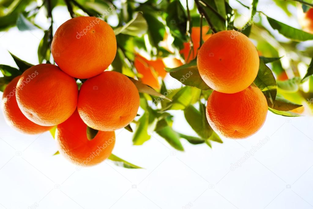 branch of orange tree fruits