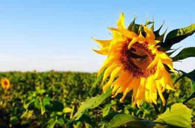 Sunflower field over  blue sky stock vector