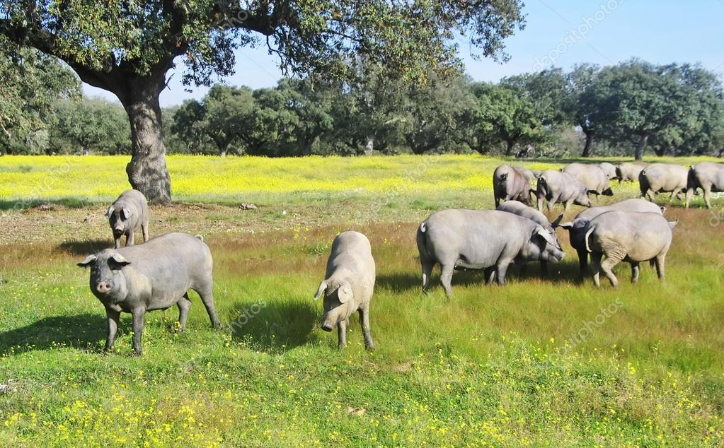pigs grazing in field at south of Portugal