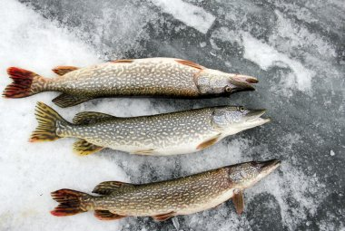 Northern Pike on the ice