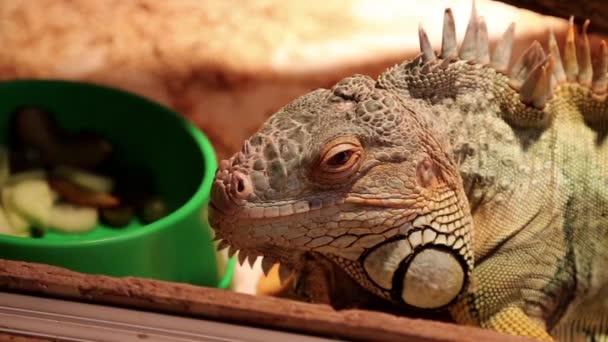 Velký iguana v teráriu