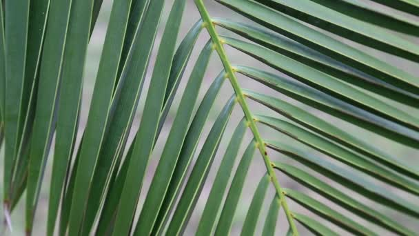 Date palm green leaves