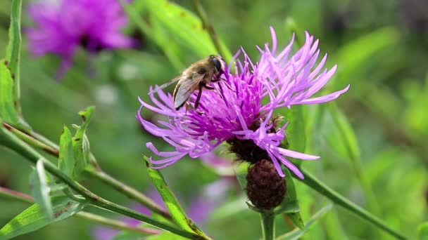 Flying insect on purple flower