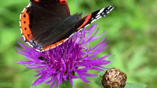 Pillangó ülni, lila virág