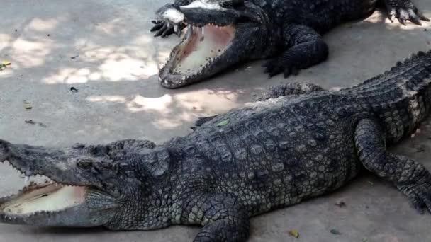 Big crocodiles