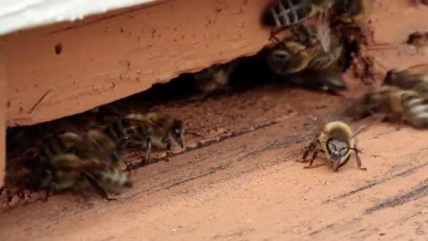 Méhek, méhkaptár közelében Raj