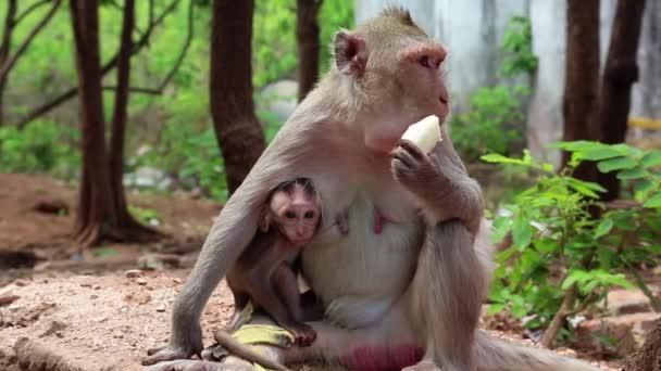Rhesus macaque with a cub