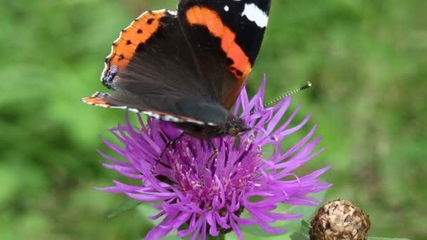 gyönyörű pillangó lila virág