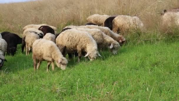 Flock of sheep on pasture ground