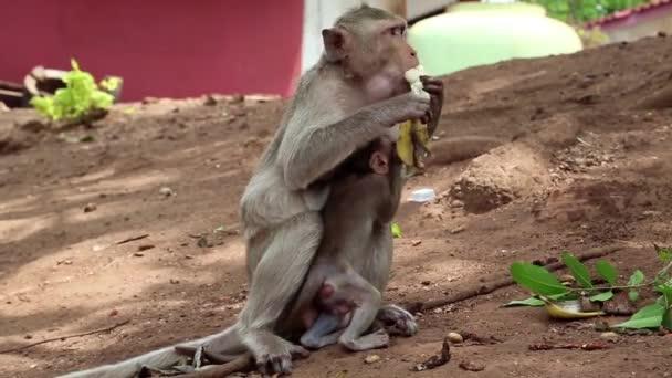 Rhesus macaque with cub eats banana