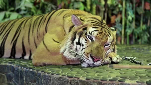 Tiger na vodítku železa v zoo