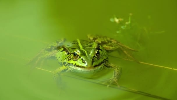 Green Frog in green water.