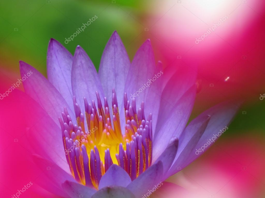Water Lily Colors Stock Photo Thefinalmiracle 95776828