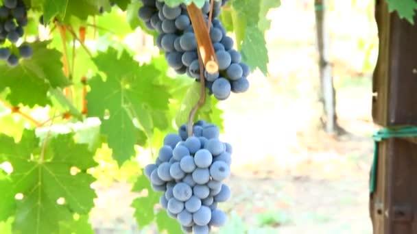 hrozny z černé hrozny ve vinicích