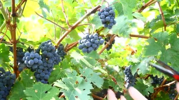 Szüret: szüret és vágás egy csomó fekete szőlő