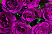 lila natürlichen Rosen Hintergrund