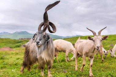 goat herd leader with huge horns unusual