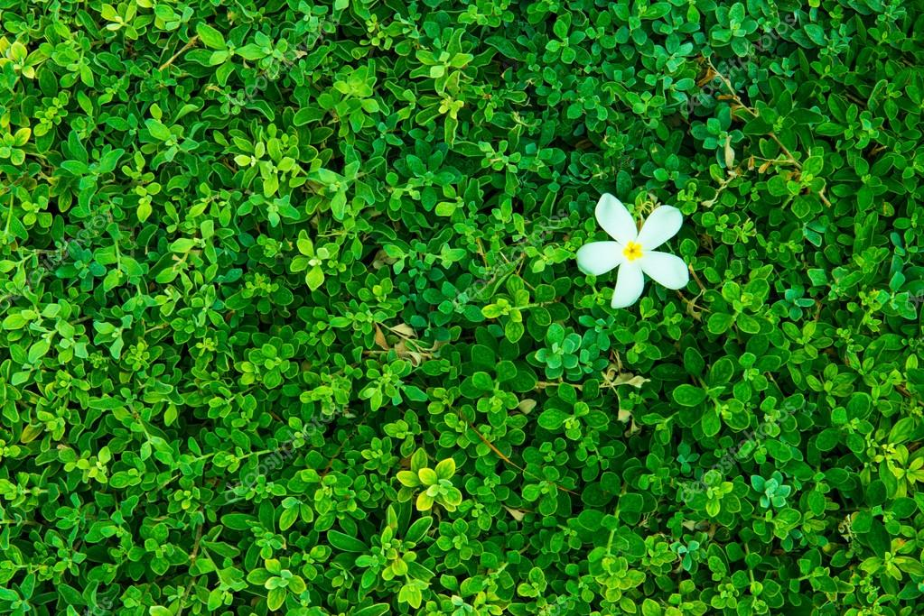 Green bush with white flower green leaves wall stock photo green bush with white flower green leaves wall stock photo mightylinksfo