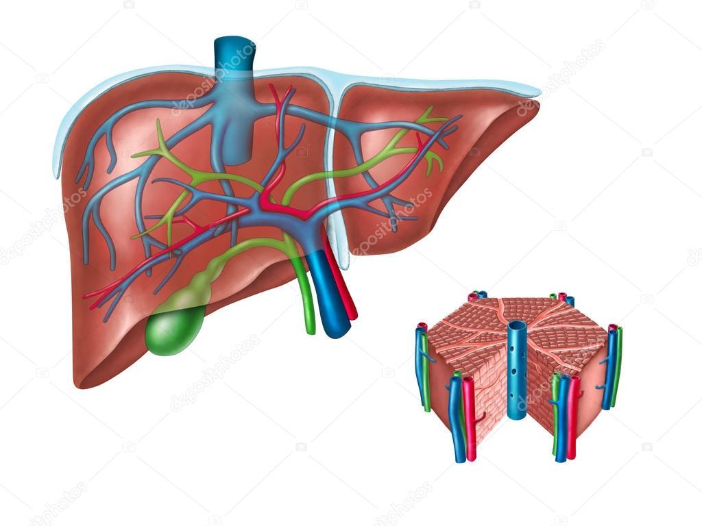 Hígado humano y diagrama de la célula hepática — Foto de stock ...